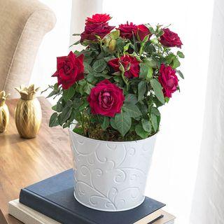 Ravishing Red Rose Image