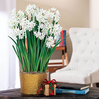 Peaceful Paperwhites Image