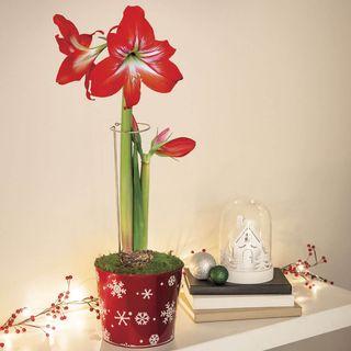 Holiday Magic Amaryllis - Single Image