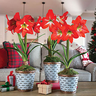 Deck the Halls Amaryllis - Triple Image