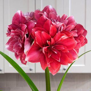 Royal Velvet Single Double Dream Amaryllis Image