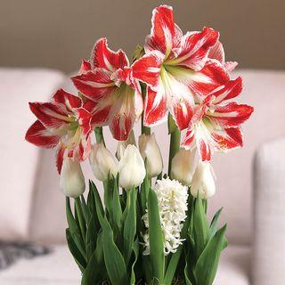 Peppermint Swirl Bulb Garden Image