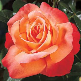 'Voodoo' Hybrid Tea Rose