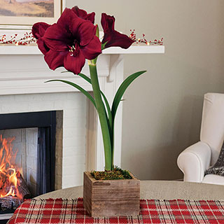 Yuletide Amaryllis - Single Image