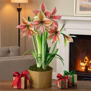 Shimmering Holiday Amaryllis - Triple Image