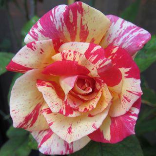 Cabana Hybrid Tea Rose Image
