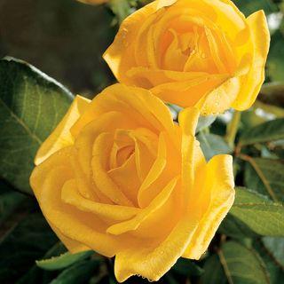 Radiant Perfume Hybrid Tea Rose