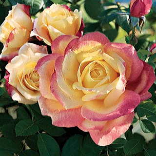 Bella'roma Hybrid Tea Rose Image