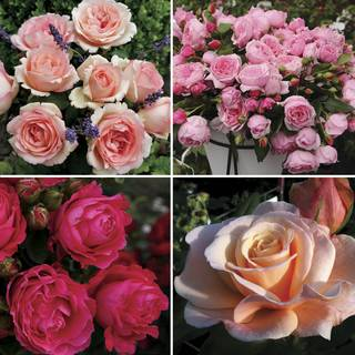 Rose Collections