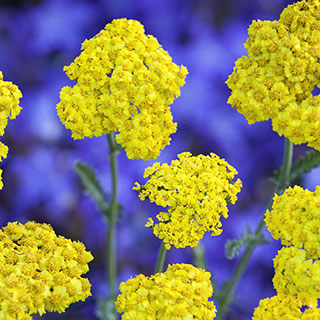 Achillea 'Little Moonshine' Image