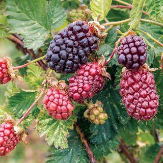 Rubus Boysenberry Image