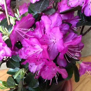 Rhododendron 'P.J.M. Elite Star'