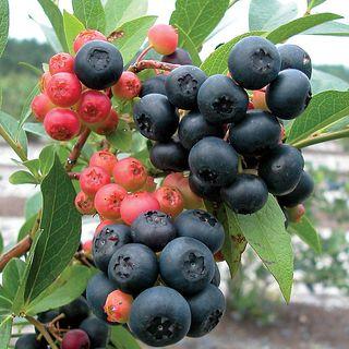 Blueberry 'Nocturne'