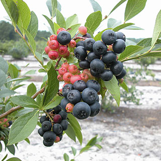 Blueberry 'Nocturne' Image