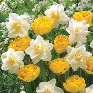 Tulip Daffodil Moon & Stars Mix Image