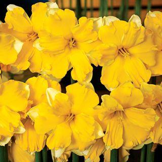 Narcissus 'Banana Daiquiri'