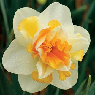 Narcissus 'Peach Cobbler'