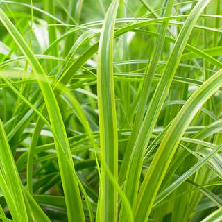 Evercolor® 'Everlime' Weeping Sedge