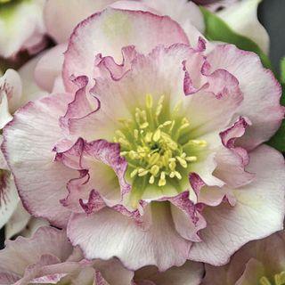 Helleborus Wedding Party™ 'Flower Girl'