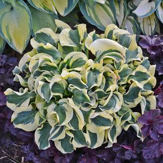 Hosta 'Mini Skirt' Image