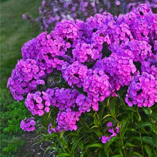 Phlox 'Fashionably Early Flamingo' Image