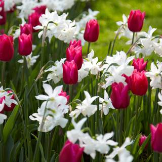 Spring Wonder Bulb Mix (pack of 15) Image