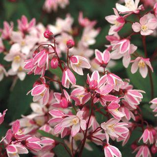 Yuki Cherry Blossom® Deutzia Image