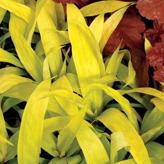 Carex siderosticha 'Lemon Zest'