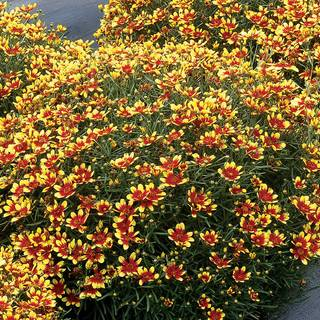 Coreopsis Honeybunch™ 'Red & Gold'