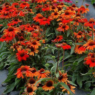 Kismet™ Intense Orange Echinacea