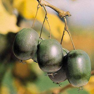 Kiwi Actinidia arguta 'Issai'