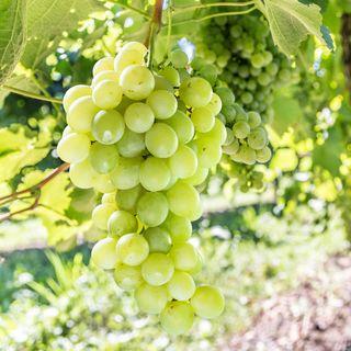 Grape Vitis labrusca 'Himrod'