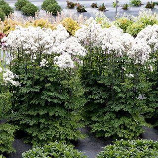 Thalictrum Nimbus™ White
