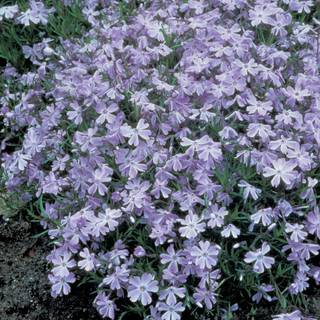 Phlox 'Oakington Blue Eyes'  - Pack of 6