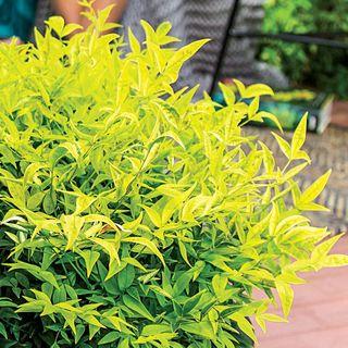 Nandina 'Lemon-Lime'