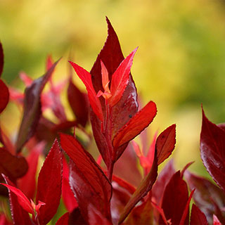 Leafscape™ 'Little Flames' Leucothoe
