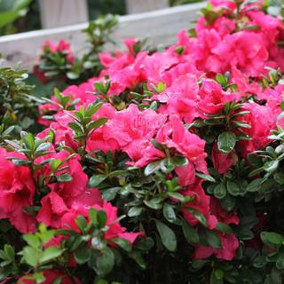 Azalea Bloom-A-Thon® Hot Pink
