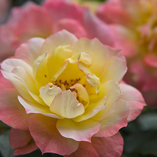Oso Easy® Italian Ice® Shrub Rose