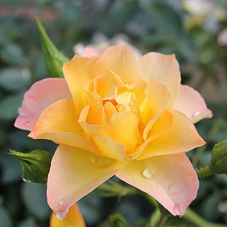 Oso Easy® Italian Ice® Shrub Rose Image