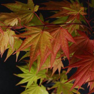 Acer 'Autumn Moon'