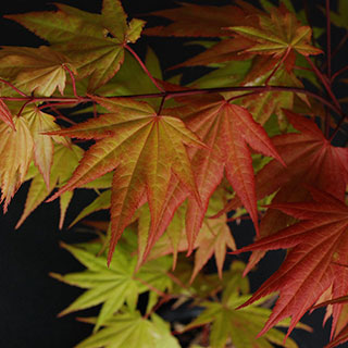 Acer 'Autumn Moon'