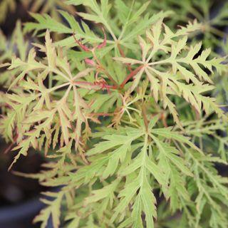 Acer palmatum 'Lemon Lime Lace' Image