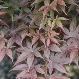foto de Acer palmatum Rhode Island Red at Jackson & Pekins