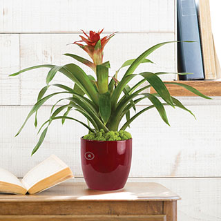 Red Bromeliad in Red Container