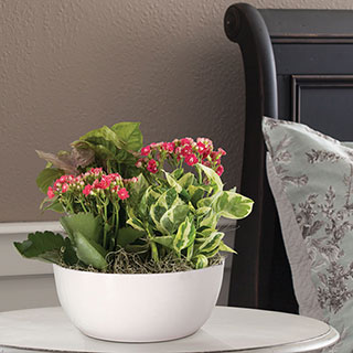 Kalanchoe and Nephytis Mix
