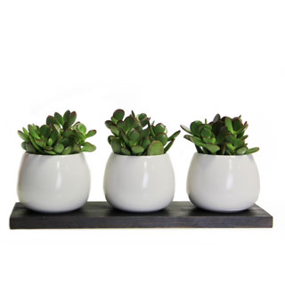 Trio of Jade Plants on a Plank