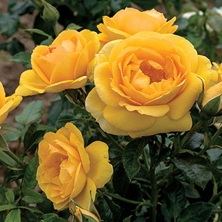 Soaring to Glory Floribunda Rose