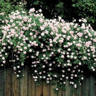 'Cécile Brunner' Climbing Rose