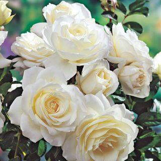 Moondance Floribunda Rose Image