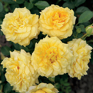 Tupelo Honey™ Floribunda Rose Image